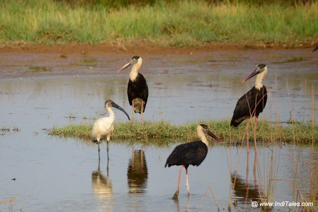 Woolly-necked Stork with Black-headed Ibis