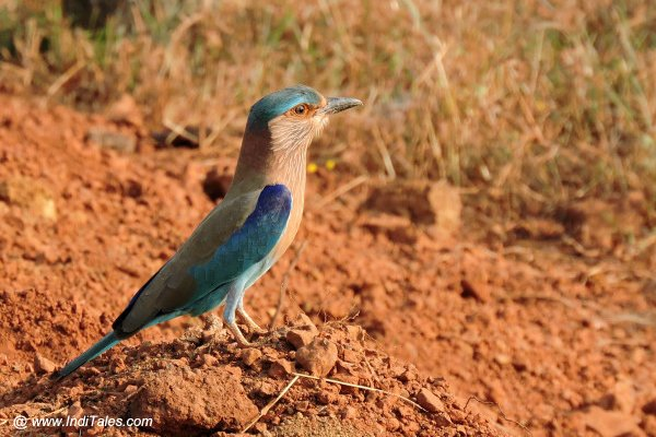 Indian Roller bird en route to Chorla Ghat