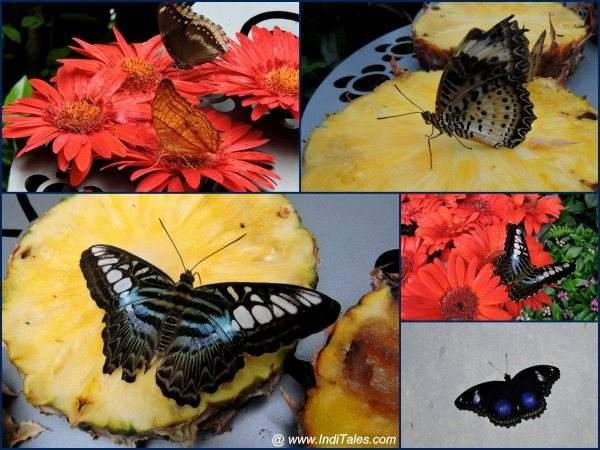 A collage of Butterflies at Butterfly Garden