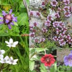 Colorful flowers of Sangla Valley, Chitkul