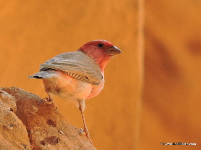 Bird of Desert at Wadi Rum, Jordan