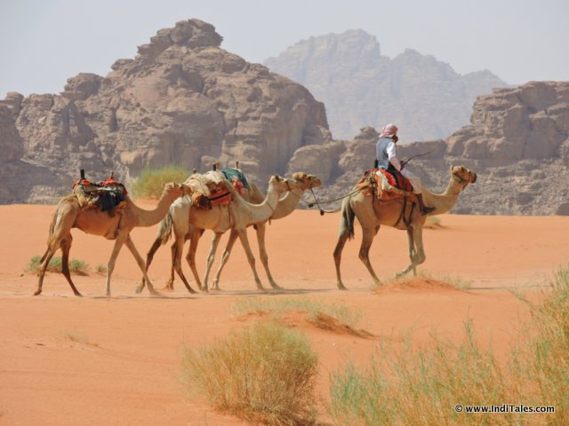 Closer look at Camel Caravan at Wadi Rum Jordan