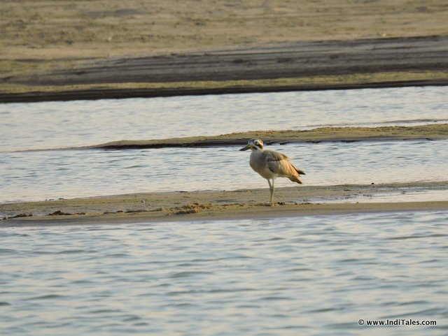 Great Thick-Knee Bird