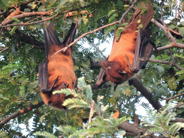Flying Foxes - hanging upside down on trees
