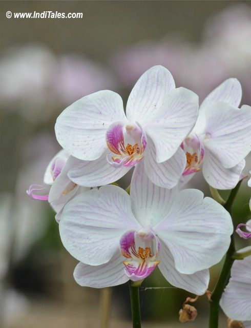 Orchid flower at Baiguney