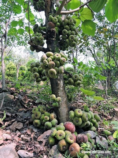 Fig Tree at Baiguney