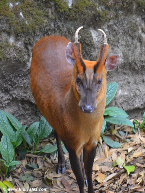 Barking Deer at Darjeeling Zoo