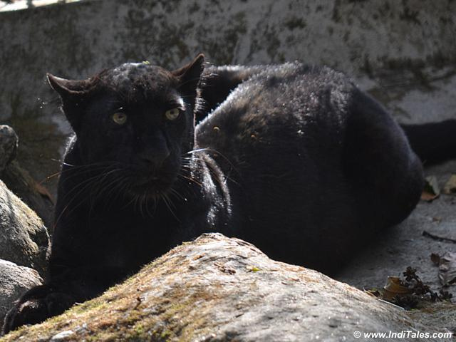 Black Leopard at Darjeeling Zoo