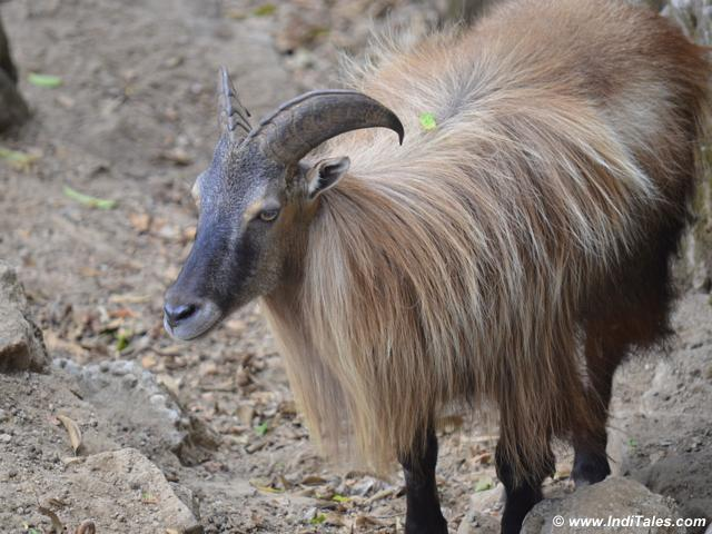 Himalayan Tahr at Darjeeling Zoo