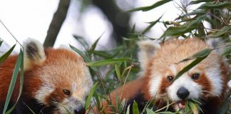 Red Panda's at Padmaja Naidu Himalayan Zoological Park, Darjeeling