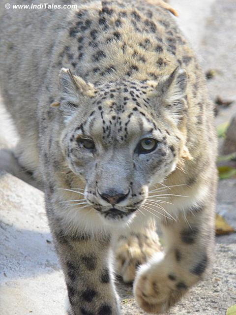 Snow Leopard at Himalayan Zoological Park, Darjeeling