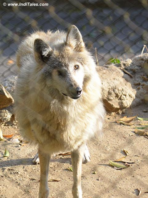 Himalayan Wolf at Darjeeling Zoo