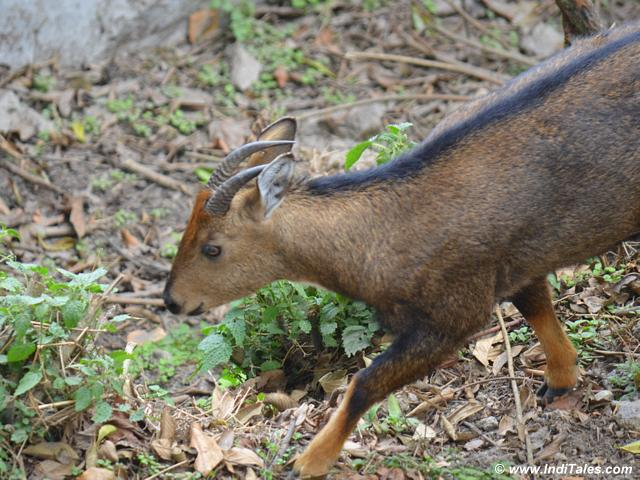 Himalayan Goral at Darjeeling Zoo