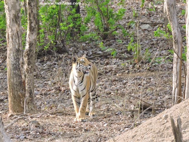 Cub of Collarwali Tigress at Pench National Park