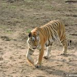 Tiger walking at pench National Park