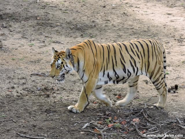 Collarwali Tigress Cub at Pench National Park