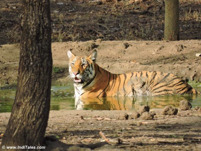 Collarwali Tigress Cub cooling in the pond at Pench Tiger Reserve
