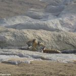 Cubs of Collarwali Tigress on the Rocks of Pench River