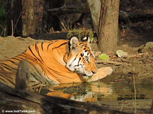 The famed mother tigress cooling off near a pond, note the collar on her neck