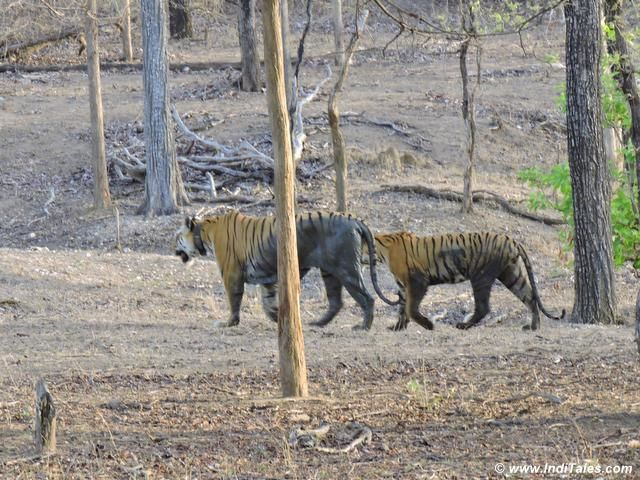 Collarwali Tigress walking with her daughter at Pench National Park