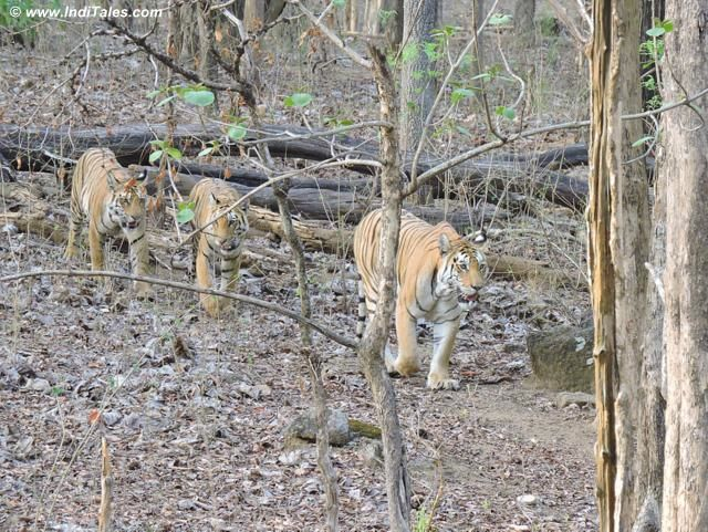 Collarwali Tigress with her one year old cubs at Pench Tiger Reserve