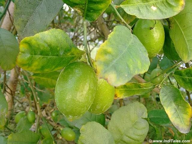 Gondhoraj - Bengal's favorite lime at ITC Sonar, Kolkata