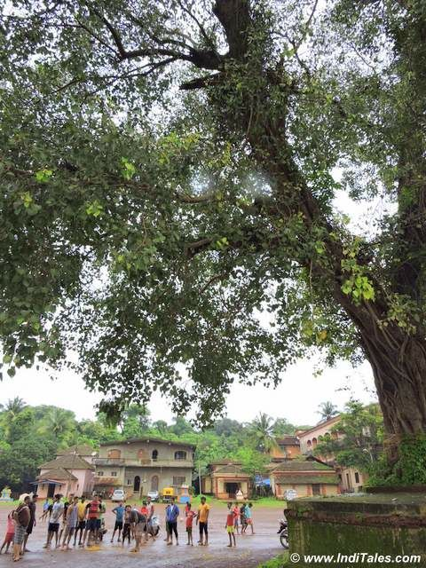 Peepul Tree - Witness of Chikal Kalo festival, Goa