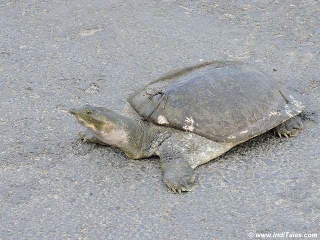 Tortoise taking a walk