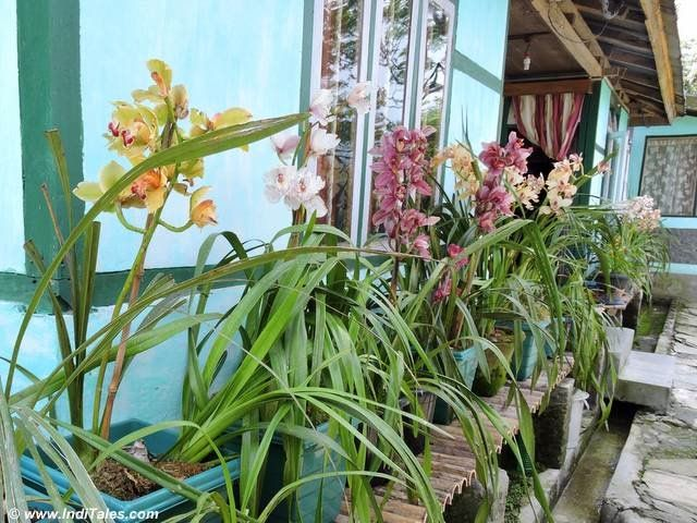 Orchids grown in the gardens of houses