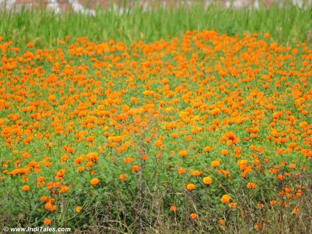 Marigold fields