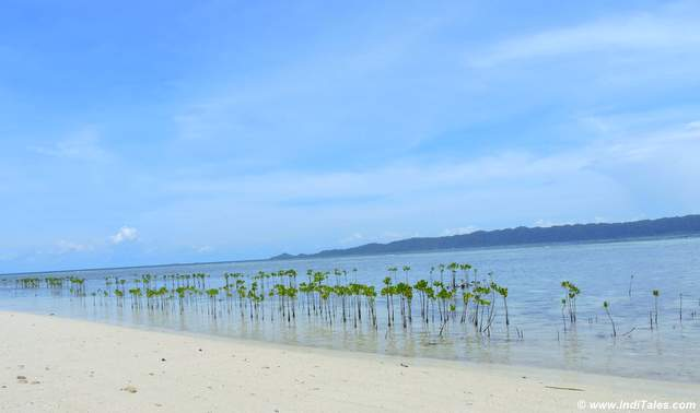 Mangrove saplings on the beach at Arborek, Raja Ampat