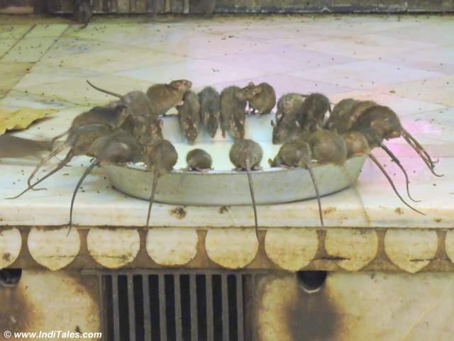 Rats drinking milk like a family - Karni Mata Temple, Deshnoke, Bikaner