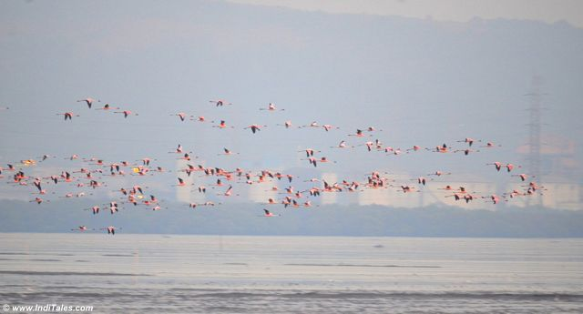 Lesser Flamingos in-flight