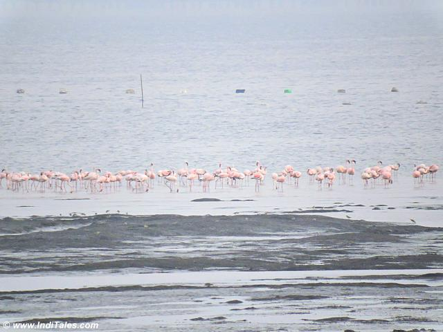 Flamingos at the Jetty
