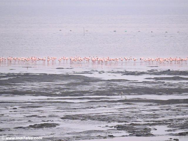 Flamingos reach as water recedes during low tide