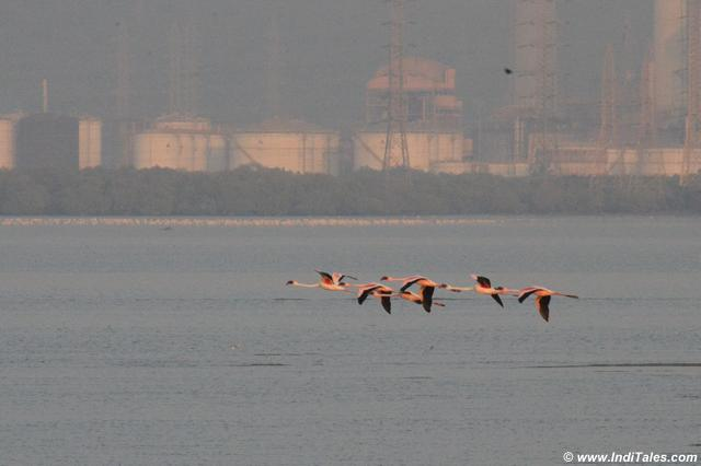 Few Lesser Flamingos in flight and a large colony in the background