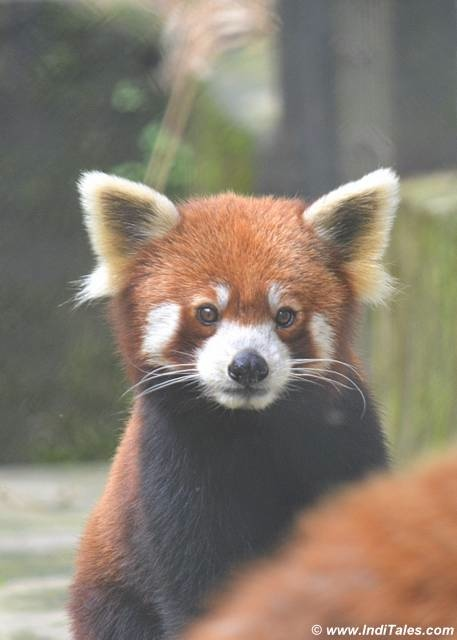 Curious Red Panda at Himalayan Zoological Park, Gangtok