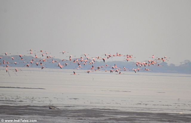 A colony of Lesser Flamingos take-off