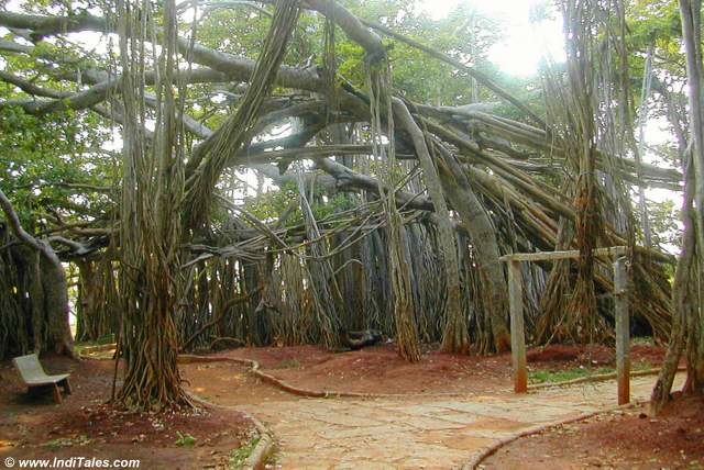 National Tree of India - Banyan Tree