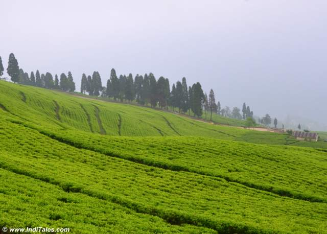 Temi Tea estate landscape view - Places to visit near Gangtok