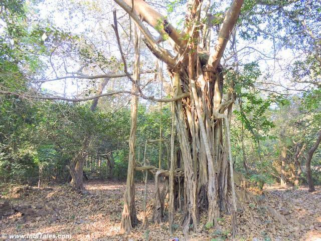 Old trees of Assagao