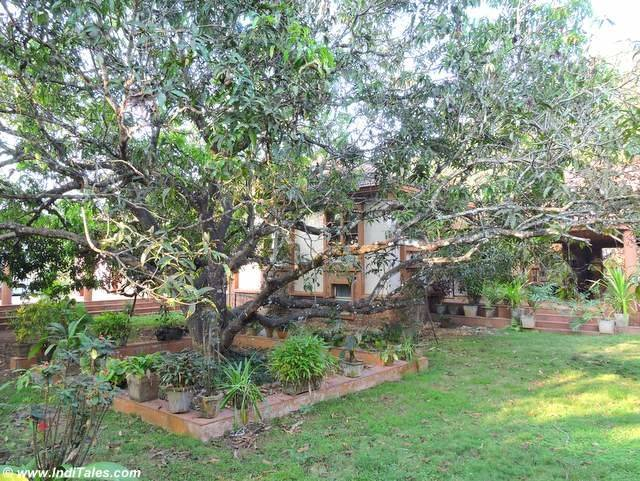 Tree inside the Pallotti Institute - Assagao