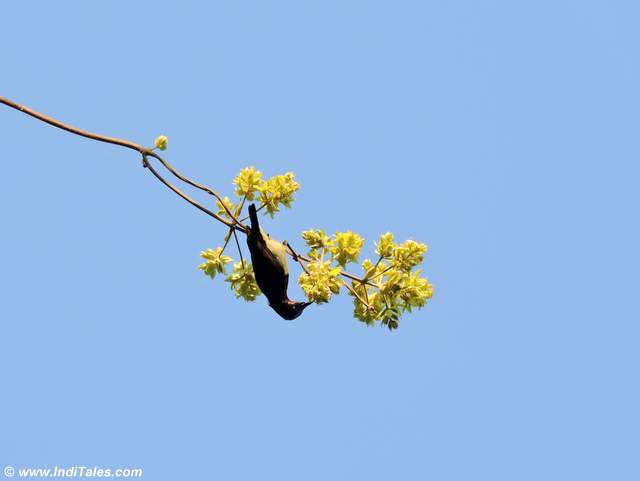 Sunbird feeding on a tree
