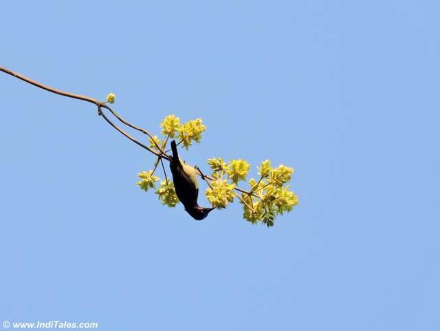 Sunbird feeding on a tree