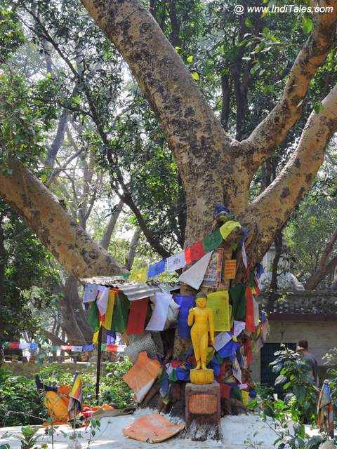 Bodhi Tree with a Baby Buddha Image at Lumbini Garden