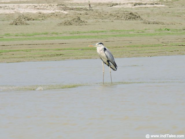 Grey Heron on sand banks of Saryu River, Ayodhya