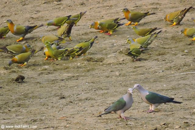 Imperial Green Pigeons