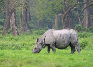 Single-horned Rhinoceros grazing at Hollong