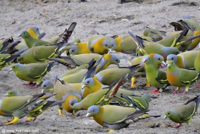 Variety of Pigeons savoring salt