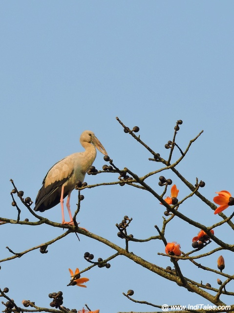 Asian-openbill Stork perched atop Semal tree